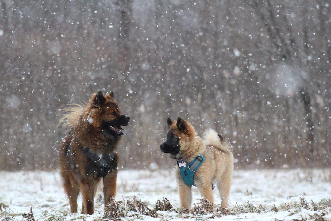 Deux Eurasiers dans un champ de neige