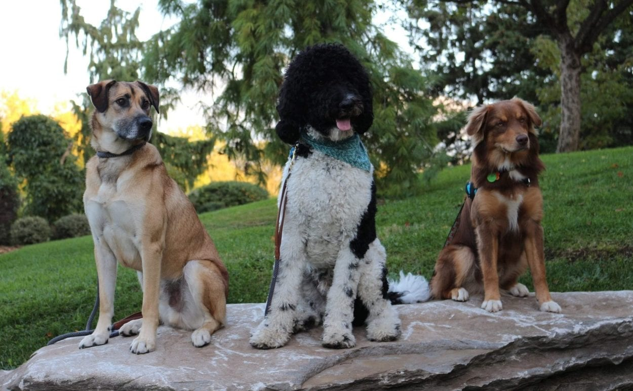 Trois chiens assis sur une roche