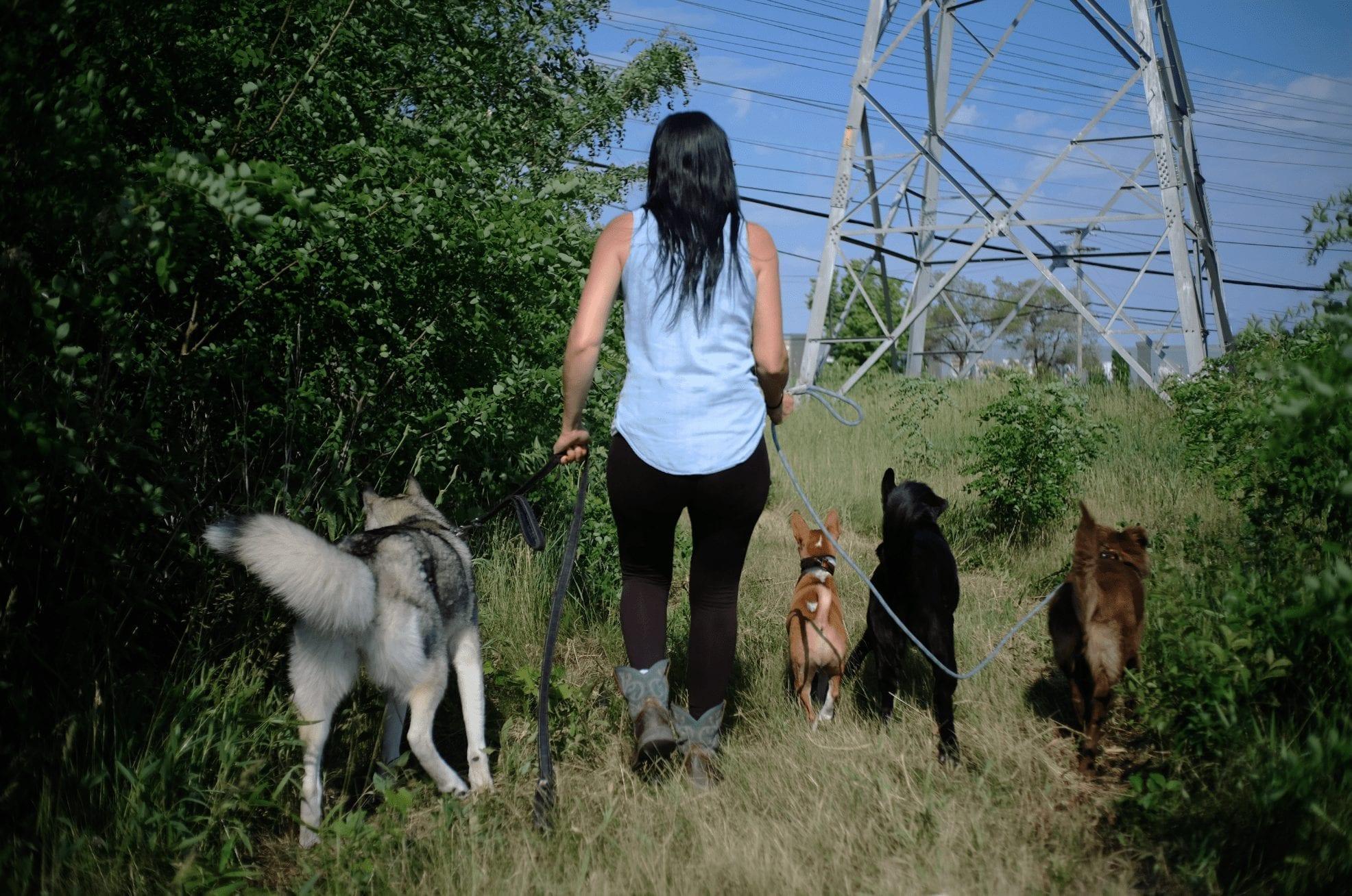 Étudiante qui promène plusieurs chiens